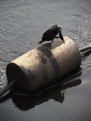 Cormorant scratch (Nekoglyph) Tags: tees barrage river water teesside boom cormorant bird black wildlife nature reflections scratching bigfoot webbed
