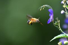 スジボソコシブトハナバチ  Amegilla florea (myu-myu) Tags: nature insect bee amegillaflorea triporadivaricata mygarden nikon d500 昆虫 ハナバチ スジボソコシブトハナバチ カリガネソウ 庭 japan