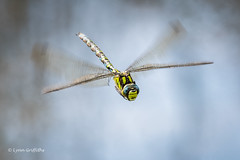 Common Hawker - Head on D85_0041.jpg (Mobile Lynn) Tags: commonhawkerdragonfly wild insects dragonfly nature fauna insect wildlife wiggonholt england unitedkingdom gb