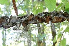 *Ulmus minor, ENGLISH ELM. (openspacer) Tags: branch elm jasperridgebiologicalpreserve jrbp nonnative tree ulmaceae ulmus