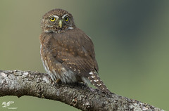 Best Pygmy Shot This Year (Northern Pygmy Owl) (The Owl Man) Tags: