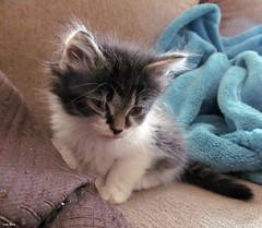 Elijah (getting sleepy!) (Lisa Zins) Tags: lisazins kittens cat feline baby petsandanimals 2017 kitten nashvillecatrescue adoption petadoption elijah