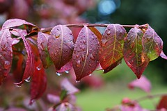 September Rain (SkyeHar) Tags: september rain waterdrops leaves autumn fall burningbush bokeh euonymusalatus tree garden shrub plant sel50f18s sonya6300 goccia tropfen drops raindrops regentropfen wassertropfen nature laub blätter herbst otoño hojas listi jesen a6300 bokehlicious naturaleza depthoffield feuilles weather