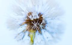 Rosée de pissenlit (coralieblanco) Tags: canon canon100mm macro macrounlimited 100mm 100mmmacro pissenlit dandelion rosée goutte gouttelette 6d colors couleurs fleur flower flowers coton white blanc soft garden
