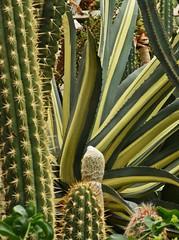 LBG Sept 2017 - 45 (Lostash) Tags: nature life plants flora cactus cacti succulents leicesterbotanicalgardens