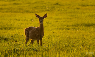 Fawn in Gold