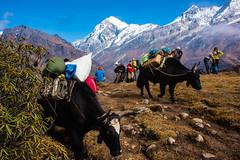 Gocha-la trek in Sikkim, India (David Ducoin) Tags: asia carrying dzongri gochala hike hiking himalaya india kangchenjunga landscape mountain nationalpark nature portage sikkim trek treking trekking walking yack gangtok in