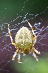 Garden spider (David Fox047) Tags: spider garden