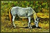 Cavallo al pascolo - Settembre-2017 (agostinodascoli) Tags: cavallo animali nikon nikkor cianciana sicilia agostinodascoli photoshop photopainting nature texture colore fullcolor impressionismo art digitalart digitalpainting settembre