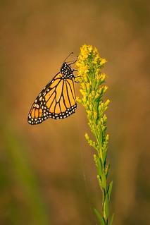 Monarch...!
