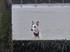 WW5 (Cathie J Brown) Tags: whippets west wittering
