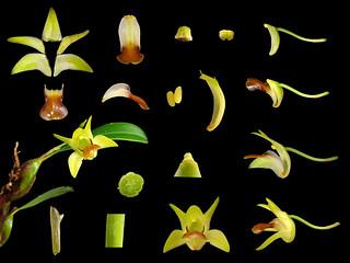 Orchidaceae Epigeneium nakaharae