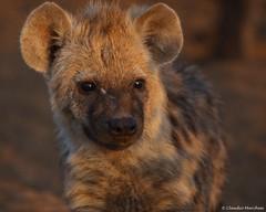 IMGP3364 Hyena puppy (Claudio e Lucia Images around the world) Tags: hyena cub pup puppy young botswana africa wildlife mashatu tuliblock sunrise earlymorning sigma carnivore africageographic nationalgeographic coth coth5 sunrays5