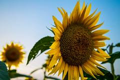Choose to Shine (KC Mike D.) Tags: skies blue field plant farm rural kansas