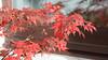 170927acer7577w (GeoJuice) Tags: trees acers autumn autumncolours garden scotland geojuice