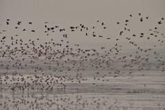 Fulvous whistling Duck (Natureholic001) Tags: baikkabeelwildlifesanctuary srimongal bangladesh natureholic whistlingduck bangladeshibirds birds wetlandbird birdlover birdy wildlifeofbangladesh birdsofbangladesh avifauna avifaunaofbangladesh localbird