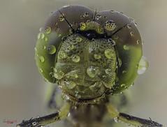 dulces sueños, al limite (gatomotero) Tags: olympusomdem1 extensiontube10mm tuboextension16mm flashtrileeds difusor dragonfly apilado macrofocusstack apiladosdecampo bichovivo raynox250 macrosmuymacros apiladoservivo libélula naturaleza focusstack fieldfocusstack aliste rabanales zamora