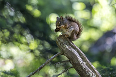 squirrel (Zeller Roland) Tags: jackson wyoming usa us squirrel