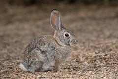Desert Cottontail (Turk Images) Tags: easterncottontail gilbertriparianreserve sylvilagusfloridanus urbanpark urbanwetland arizona gilbert leporidae mammals spring