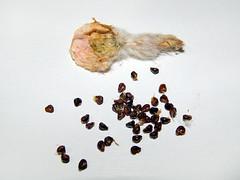A. astereias Superkabuto №2, mature fruit and seeds. (emilmorozoff) Tags: a astereias superkabuto seeds