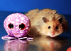 Lil' Octopus & Gucio (pyza*) Tags: gucio hamster syrianhamster hammie animal pet rodent critter furry fluffy cute sweet boy cuddly toys