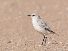 Tractrac Chat - Namib form (anacm.silva) Tags: tractracchat chat chasco ave bird wild wildlife nature natureza naturaleza birds aves namib namibdesert dune7 walvisbay africa áfrica namibia namíbia emarginatatractrac coth5