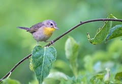 Common Yellowthroat (swmartz) Tags: birds outdoors wildlife warbler rhodeisland sachuest