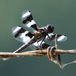Eight-Spotted Skimmer (libellula forensis) dragonfly thumbnail
