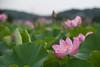 20170818 小山田神社【大賀蓮】 (syashindorakunin) Tags: 花 nelumbonucifera oyamadashintoshrine ハス 蓮 大賀蓮 小山田神社 lotus japan