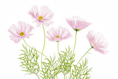 Cosmos Cupcake (Mandy Disher) Tags: cosmos cupcake summer pink white flower