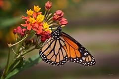 Borboleta (Carlos Santos - Alapraia) Tags: ngc ourplanet animalplanet canon nature natureza wonderfulworld highqualityanimals unlimitedphotos borboleta butterfly animal insecto