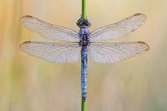 Orthetrum coerulescens (Prajzner) Tags: dragonfly odonata focusstacking sigma105mmmacro nikond7100 nature novoflexcastelxqii macro manfrottomt190xpro3 keeledskimmer