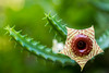 huernia zebrina (nrpease) Tags: huerniazebrina
