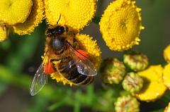 Butinage (BrigitteChanson) Tags: tanaisie bee jaune yellow giallo amarillo flower flores tanaceto fiori tansi tancy tanacetumvulgare abeja ape moucheàmiel