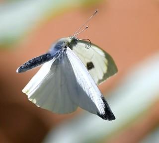 White butterfly in flight