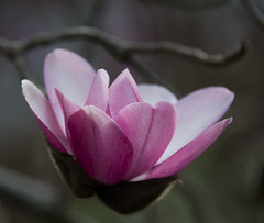Spring is coming to NZ (Ian@NZFlickr) Tags: magnolia flower botanical gardens dunedin new zealand nz otago spring