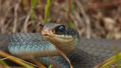 Blue racer (coluber constrictor foxii) (phl_with_a_camera1) Tags: michigan nature wilderness summer reptile animal herping herp blue racer coluber constrictor foxii snake closeup detail close