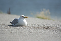have a break ... (explored) (kalakeli) Tags: birds vögel gulls möwen silbermöwe larusargentatus europeanherringgull amrum island northernsea nordsee august 2017