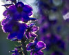 blue and purple (Stefano Rugolo) Tags: stefanorugolo pentax k5 smcpentaxm50mmf17 abstract blue purple summer garden sweden hälsingland backlight sun