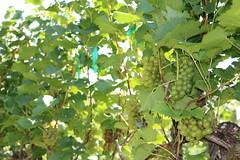 File279 (UGA CAES/Extension) Tags: grapes ugaextension cranecreekvineyards wine viticultureteam viticulture northgeorgiavineyards vineyards vines georgiawine uga