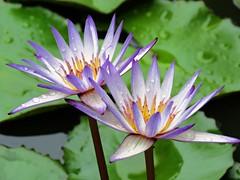 clear lily (oneroadlucky) Tags: nature plant flower lotus waterlily purple green drop rain