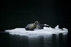 Harbor Seals on Glacial Ice (www.studebakerstudio.com) Tags: harbor seals glacial ice northwester fjord alaska