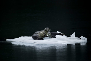 Harbor Seals on Glacial Ice