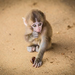 Little macaque eating. thumbnail