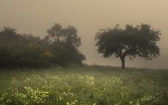 Fog Meadows (Netsrak) Tags: baum bäume europa europe landschaft natur nebel wald fog landscape mist nature tree trees woods rheinbach nordrheinwestfalen deutschland de