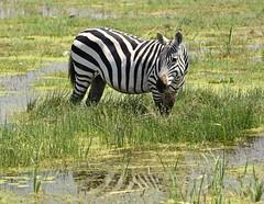 """It's Wet, But Wonderful"" (The Spirit of the World) Tags: zebra stripes reflection waterreflection amboseli water marshland kenya grasses eastafrica africa safari gamedrive nationalpark gamereserve nature wildlife"