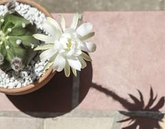 Echinopsis subdenudata 'Domino' (Andrea Afra) Tags: sfycactus cactus echinopsis subdenudata