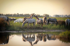 Morning Hours In the Camargue (pbmultimedia5) Tags: white horses rhone delta river band animal wildlife pbultimedia regional nature park camargue wetland