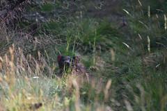 Hiding in the Grass (zenseas) Tags: tasmaniandevil devil tasmania australia devilsatthecradle volunteer workingvacation sarcophilusharrisii workingholiday holiday vacation south southern southernhemisphere marsupial dasyuridae carnivorousmarsupial carnivorous dasyurid cradlemountain