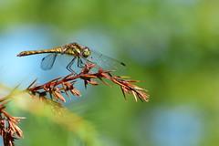 Dragonfly (evisdotter) Tags: dragonfly trollslända slända macro bokeh sooc nature coth5 ngc npc